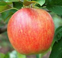 """Саженцы яблони сорт """"Целесте"""""""