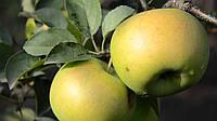 """Саженцы яблони сорт """"Голд Стар"""""""