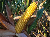 Насіння кукурудзи Mas 24.С  ФАО 260 ( Maisadour Semences)