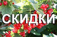 Знижка на саджанці червоної смородини. Осінь 2018