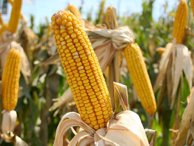 Насіння кукурудзи  Mas 28.A ФАО 270 ( Maisadour Semences)