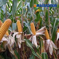 Насіння кукурудзи Mac 30.K ФАО 280 ( Maisadour Semences)