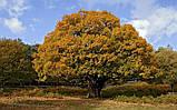Дуб черешчатый семена (20шт) (дуб обыкновенный или английский) для саженцев насіння для саджанців, фото 2