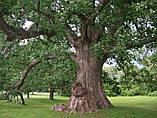 Дуб черешчатый семена (20шт) (дуб обыкновенный или английский) для саженцев насіння для саджанців, фото 5