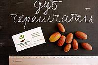 Дуб черешчатый семена (10шт) (дуб обыкновенный или английский) для саженцев насіння для саджанців