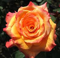 Саженцы роз. Роза чайно-гибридная Конго НАЛИЧИЕ(1 шт)