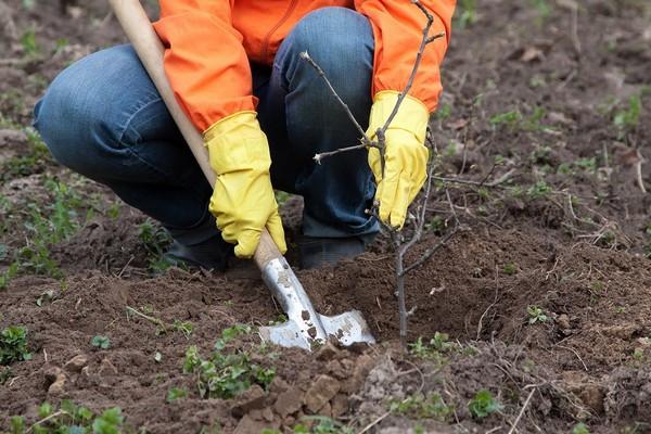 Какие деревья лучше сажать осенью? Преимущества осенней посадки растений