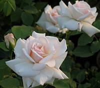 Роза плетистая  Шваненси НАЛИЧИЕ