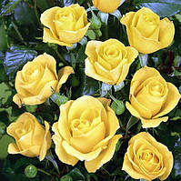 """Саженцы роз """"Фрезия"""" жёлтая (Фрэзия, Фрезія)"""