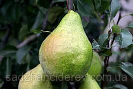 Саджанці груші Листопадова «Ноябрьская»