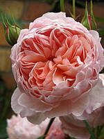 Саженцы роз Персиковая английская