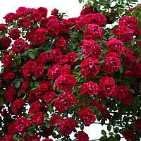 Саженцы роз Фламентанц (Красная)