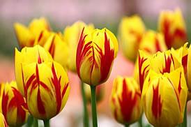 Тюльпан триумф Washington 10|11, 3 луковицы
