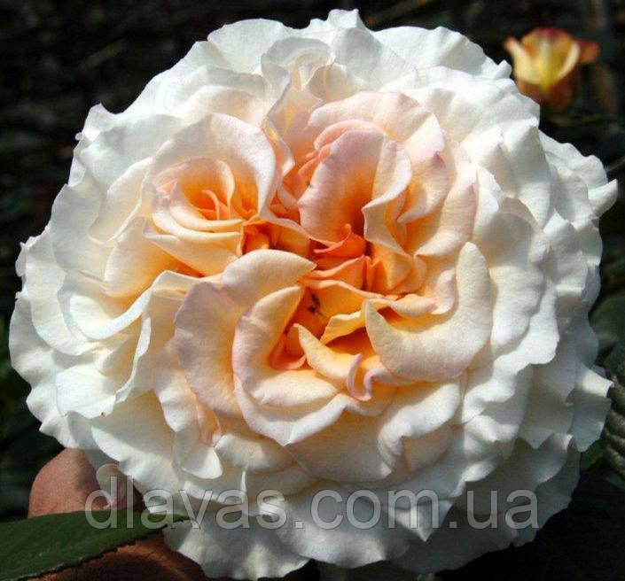 Саженцы роз. Роза чайно-гибридная Комтесса