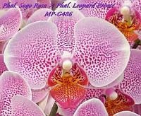 Орхидеи. Сорт Phal Sogo rosa x Leopard prince размер 2.5 без цветов