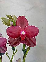 Орхидеи. Сорт Sogo Relex 'SOGO F1671' , размер 2.5 без цветов
