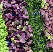 Семена микрозелень