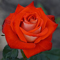 Роза Верано ( Verano)