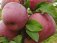 "Саженцы яблони ""Флорина"""