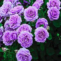 № 28-1. Саженцы роз Сиреневая