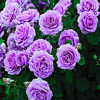 Саженцы роз Сиреневая английская