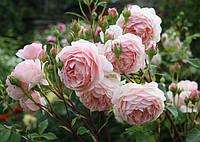 Саженцы Роз Английская Бежево-розовая