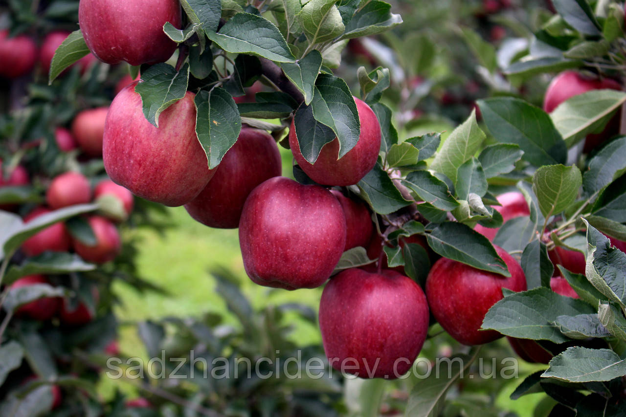 Саджанці яблунь Ред Кап