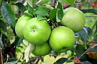 Саджанці яблунь Гренні Сміт, фото 1
