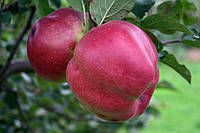 Саджанці яблунь Джумбо Помм, фото 1