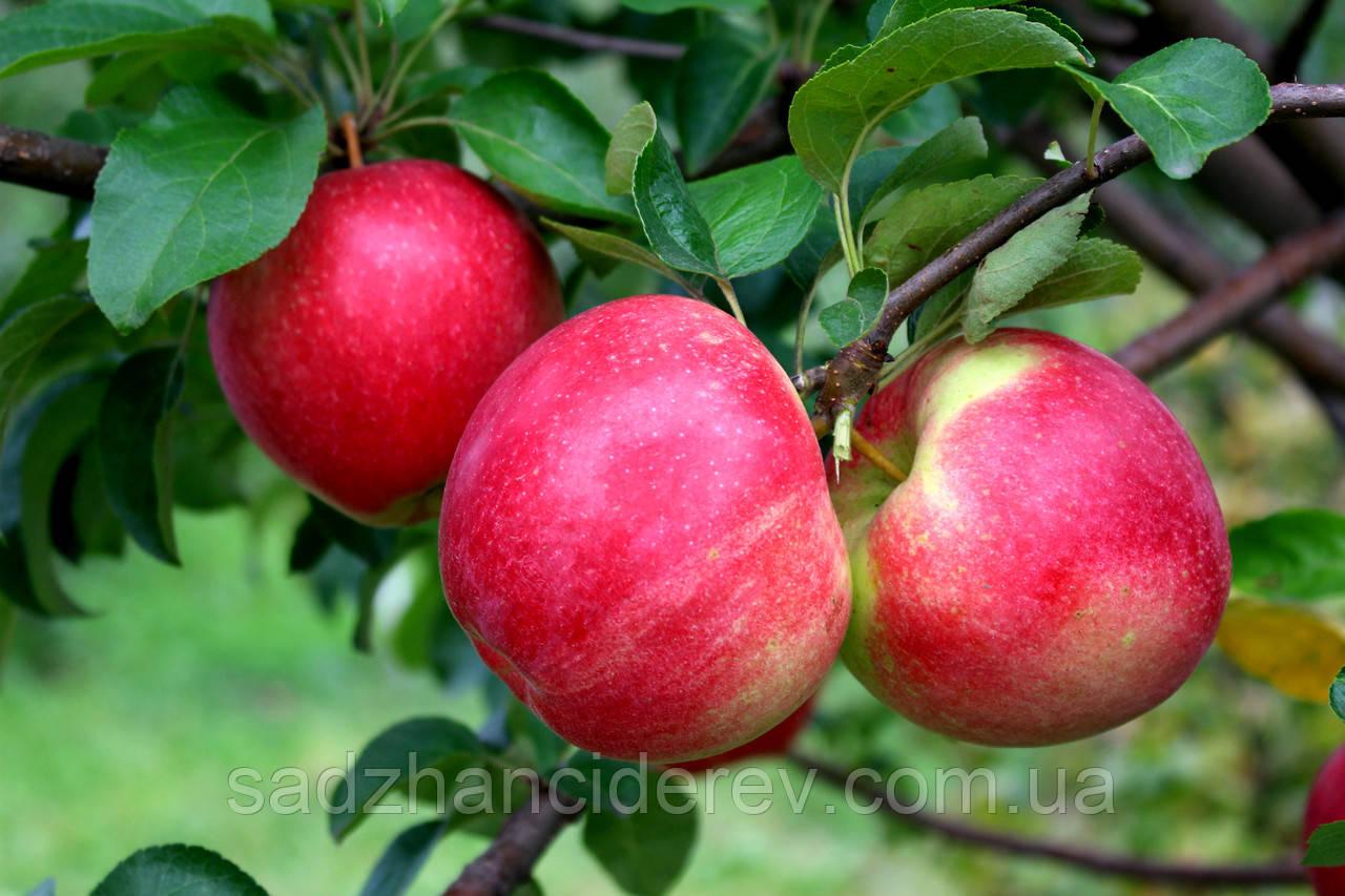 Саджанці яблунь Амулет