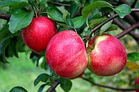 Саджанці яблунь Амулет, фото 1