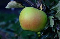 Саджанці яблунь Смеральда, фото 1