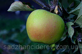 Саджанці яблунь Смеральда