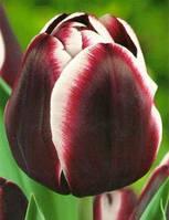 Тюльпан Триумф Jackpot (Джекпот) луковица