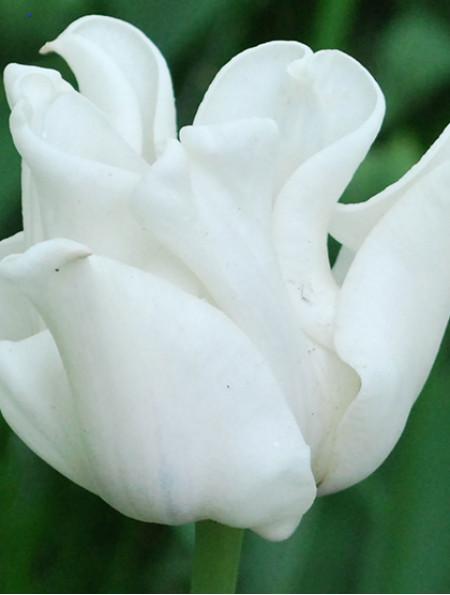Тюльпан Триумф White Liberstar (Вайт Либерстар) луковица