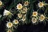 Питайя - плодоносящий кактус  Микс
