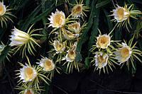 Питайя - плодоносящий кактус  Микс, фото 1