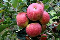 Саджанці яблунь Чемпіон Рено, фото 1