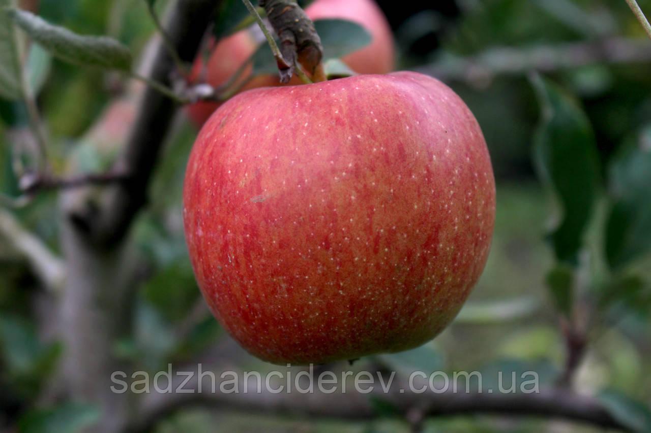 Саджанці яблунь Хоней Крісп