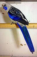 Папуга Розелла пенантовая - синя мутація