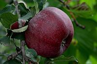 Саджанці яблунь Фіалка