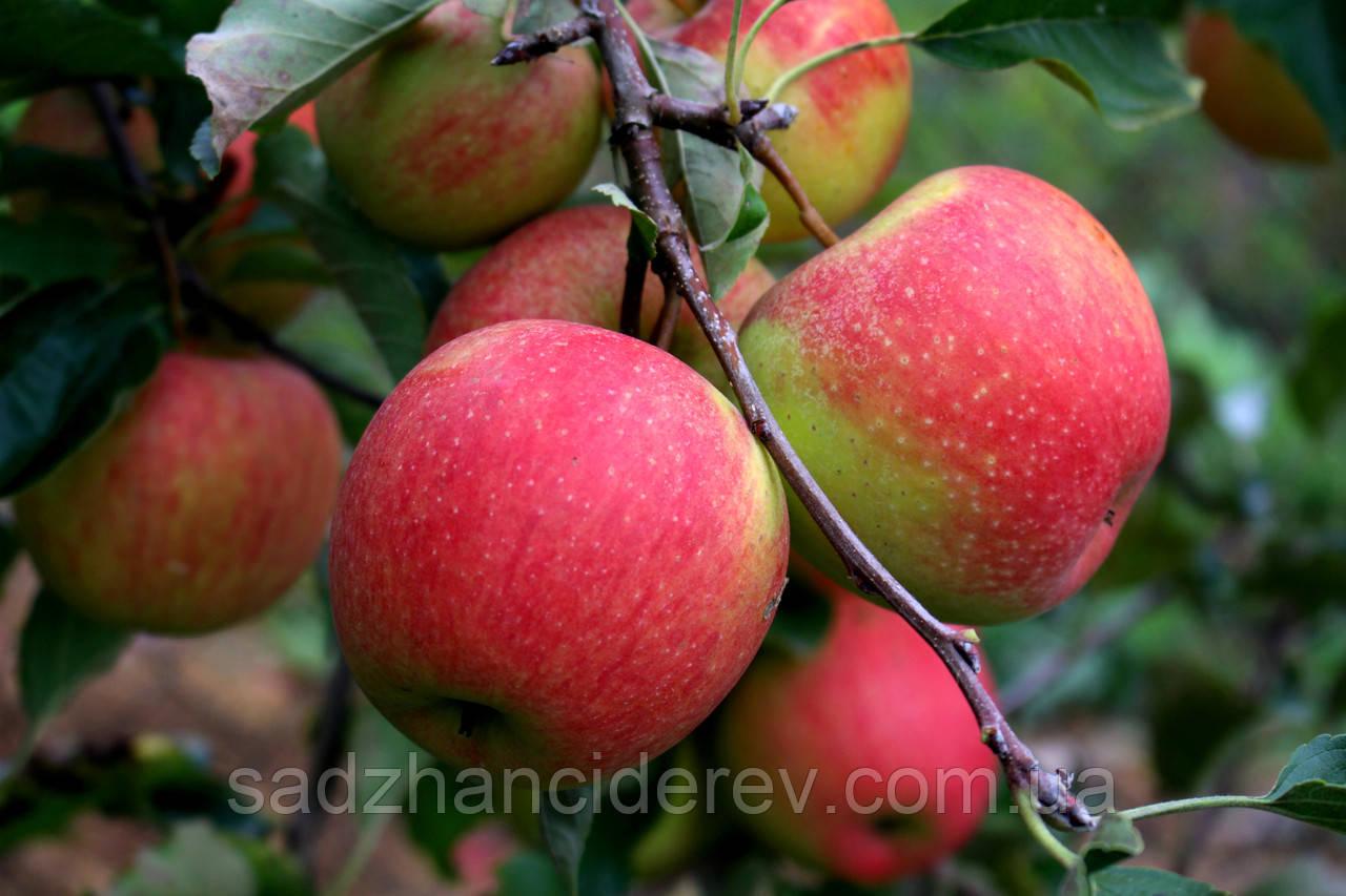 Саджанці яблунь Пінова