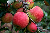 Саджанці яблунь Пінова, фото 1