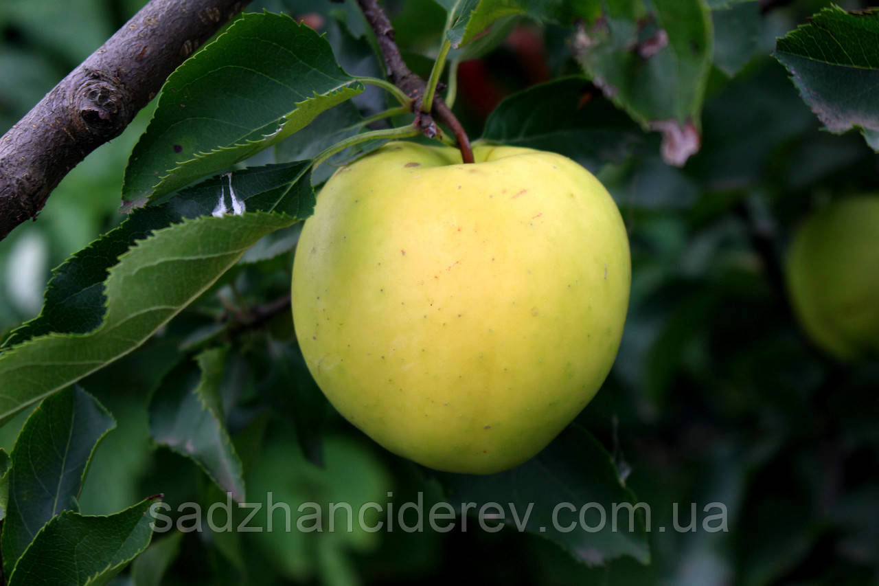 Саджанці яблунь Голден Резістент