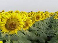 Сирокко A-G+ семена подсолнечника Mirasol Seed устойчивы к заразихе