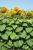 Булерия насіння соняшнику Mirasol seeds A-G
