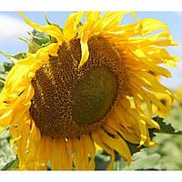 Гиперсол семена подсолнечника Mirasol seeds