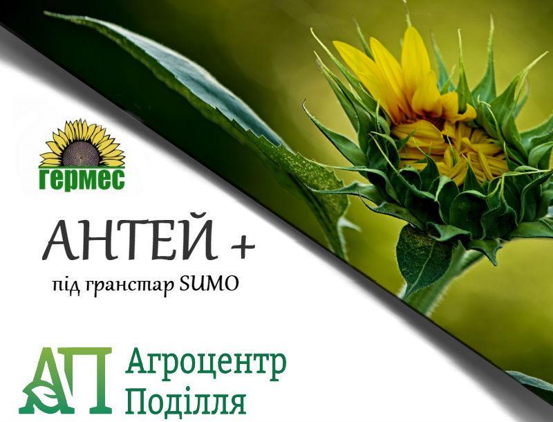 Семена подсолнечника под гранстар Антей Плюс 103-106 дн. (бесплатная доставка)