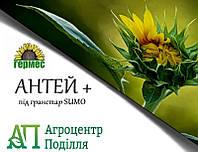 Семена подсолнечника под гранстар Антей Плюс 103-106 дн.