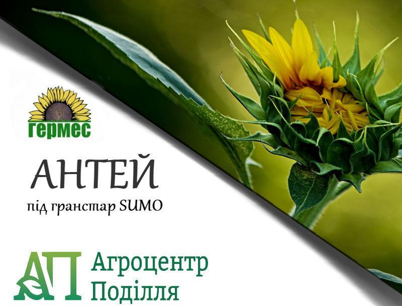 Семена подсолнечника под гранстар Антей 107-111 дн.(бесплатная доставка)